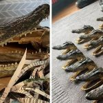 Police find 80 alligator heads in Perry Barr house
